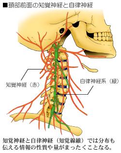 頚部の神経の走行