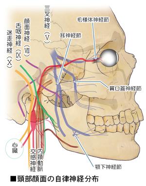 頭部の自律神経の分布