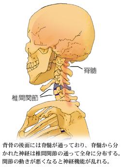 脊髄と椎間関節