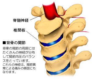脊柱の関節と神経
