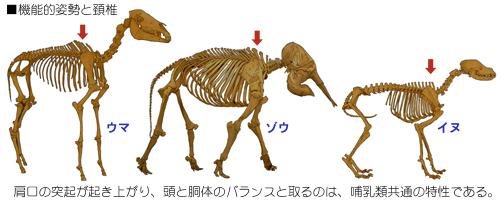 哺乳類の体制と肩の役割