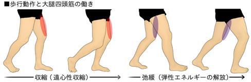 歩行動作と大腿四頭筋