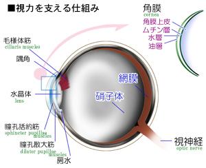 目が光をとらえる仕組み