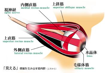 眼球運動をコントロールする筋肉群