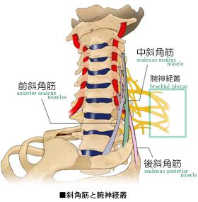 斜角筋の経路と腕神経叢