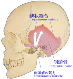頭蓋骨調整と側頭鱗