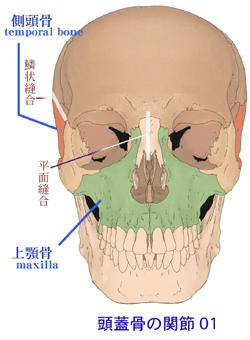 頭蓋骨調整と前頭縫合