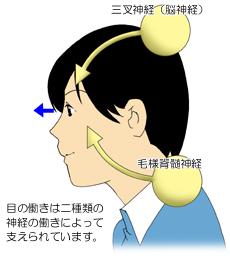 目の毛様体をコントロールする神経のイメージ