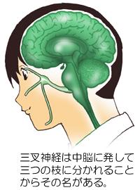 三叉神経のイメージ
