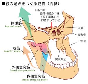 下顎の運動に関係する筋肉