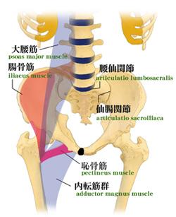 骨盤と大腰筋・腸骨筋