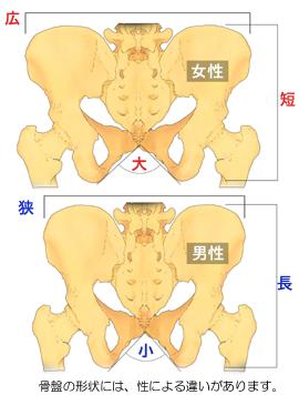 骨盤の形状の性差