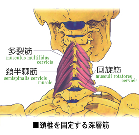 肩こりの原因となる深層筋