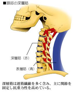 頚椎の運動を制御する深層筋