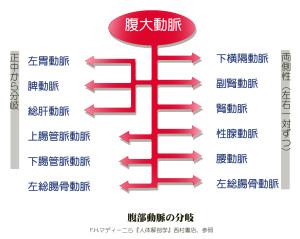 腹部動脈模式図